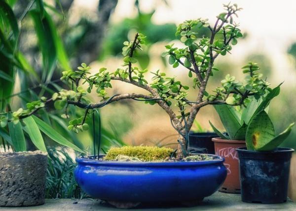 Cómo trasplantar un bonsái. Trasplantar un bonsái de manera regular es un factor muy importante para impedir que sus raíces saturen la tierra y sufra severos problemas que pueden, finalmente, hacer que muera. No obstante, esta t...