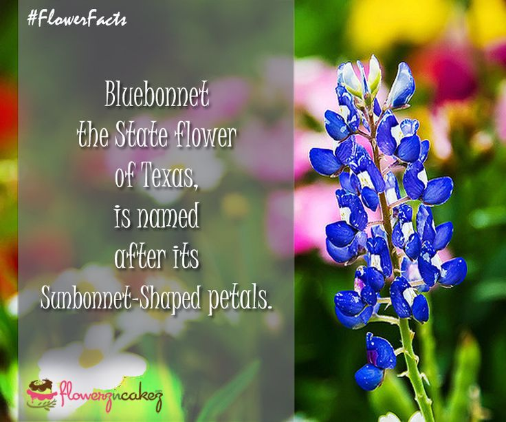 #FlowerFacts Bluebonnet was adopted officially as the State Flower of Texas in 1901. Stay connected to get more interesting facts with http://www.flowerzncakez.com/