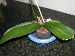 Conseils d'Arrosage pour les orchidées, comment arroser une orchidée