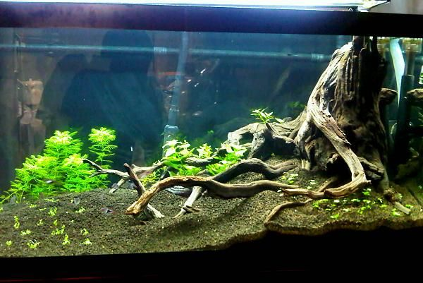Stump Design Fish Tank Planning Pinterest Aquariums Aquarium Aquascape And Fish Tanks