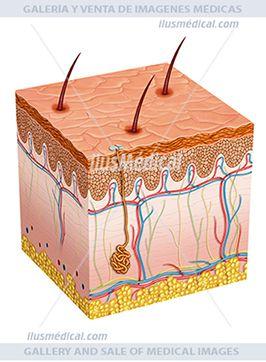 Ilustración esquemática de la piel humana. La piel es el órgano más grande del cuerpo humano. Proporciona protección y ....