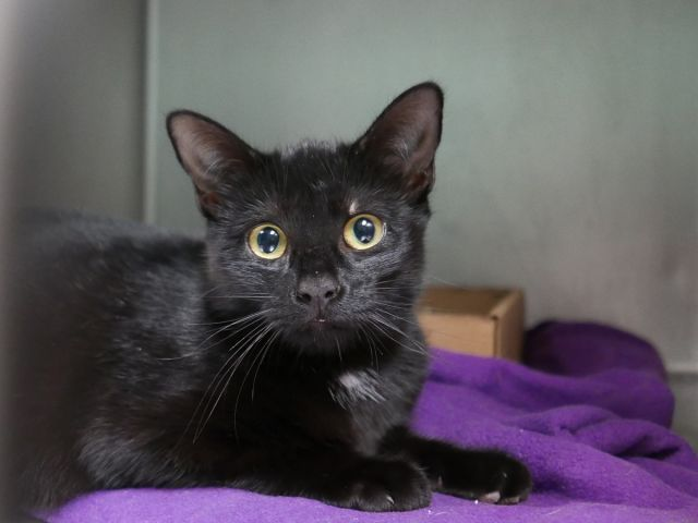 ***TO BE DESTROYED 11/02/17*** Philly 10773 about 2 years 1 weeks old – desexed female black cat