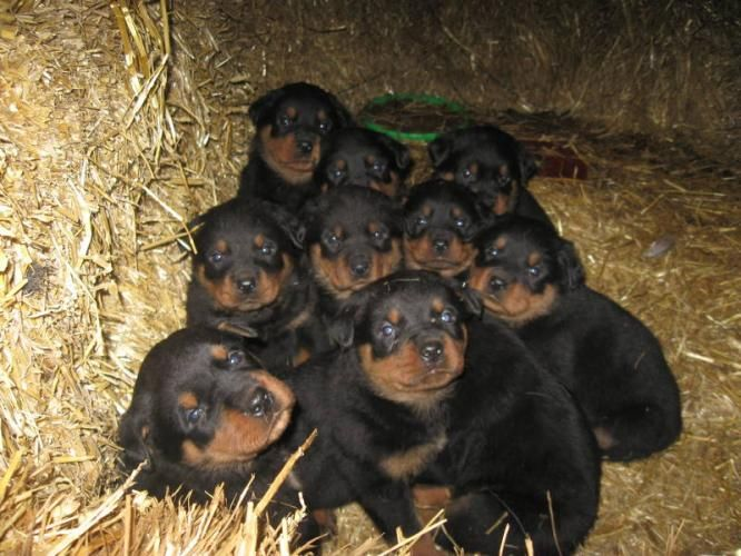 Rottweilers My Style Pinterest Puppies Dogs And Rottweiler