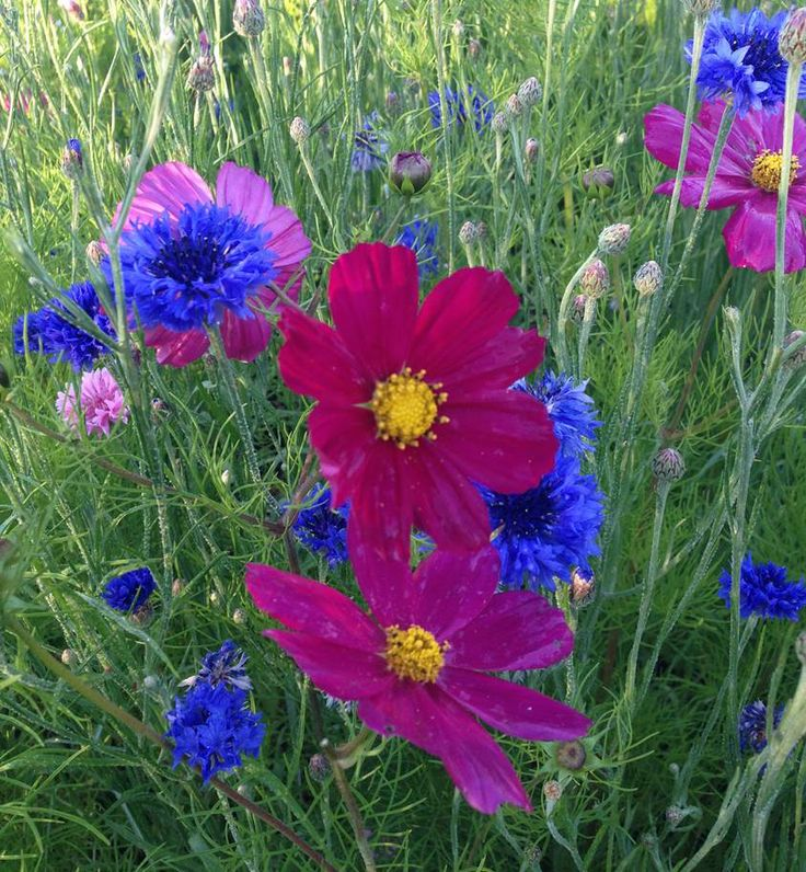 Cosmos 'Red Dazzler' with blue cornflowers