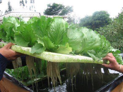 Elcultivo hidropónico o cultivo sin sueloes la mejor manera de tener un control total sobre el crecimiento saludable de las plantas. Se lo emplea de manera frecuente para uso comercial, en el...