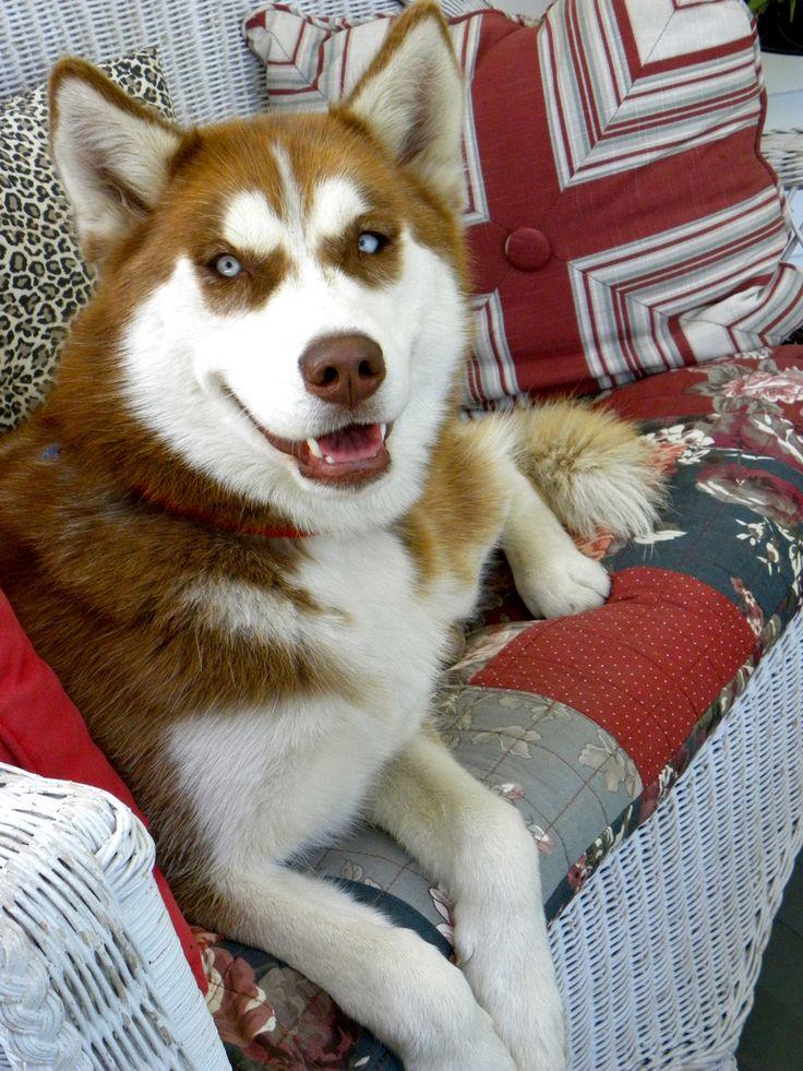 best 25 red husky ideas on pinterest red husky puppies. Black Bedroom Furniture Sets. Home Design Ideas