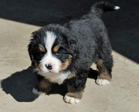 Simple Doodle Chubby Adorable Dog - 036adab0c545d0b37c3f8b3816946dcd--great-bernese-little-puppies  Graphic_532674  .jpg