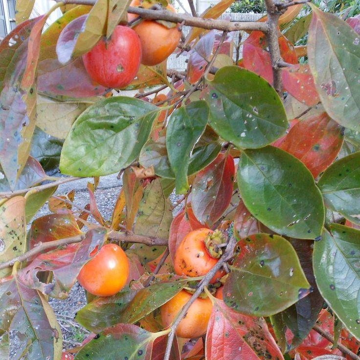 柿が豊作です。  #柿 #紅葉 #秋 #東亜和裁 #toawasai #東亜和裁インスタ祭り2015