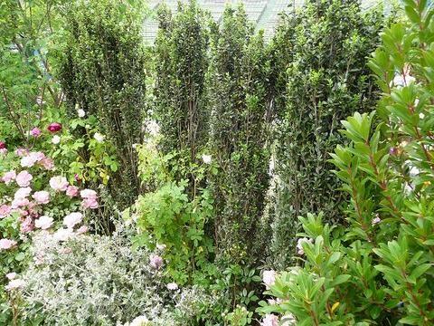 スカイペンシル 品種の特徴や剪定・肥料・育て方 庭木専門店の苗木販売 花ひろばオンライン