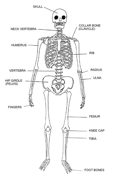 general Skeletal system Stencil human | Labeled Human ...