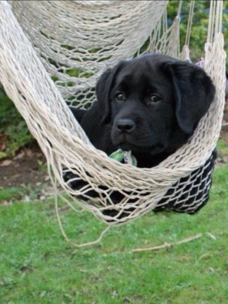 Awww! Black Lab Puppy