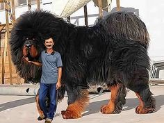 The biggest dog in the world (2)