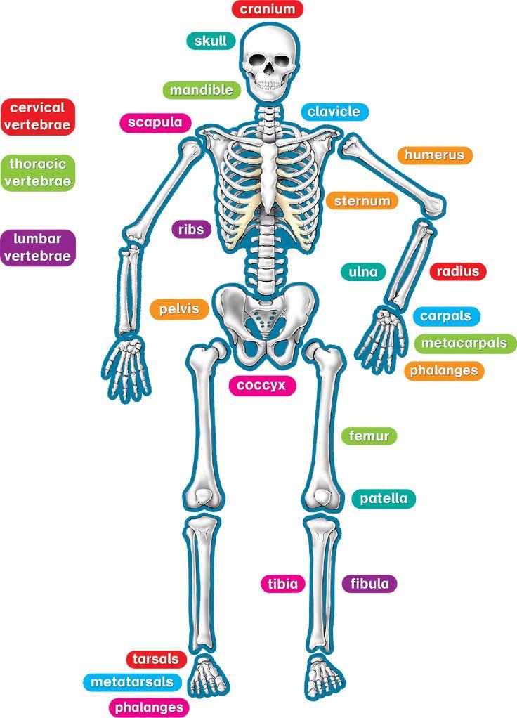 oltre 25 fantastiche idee su human skeleton labeled su pinterest, Skeleton