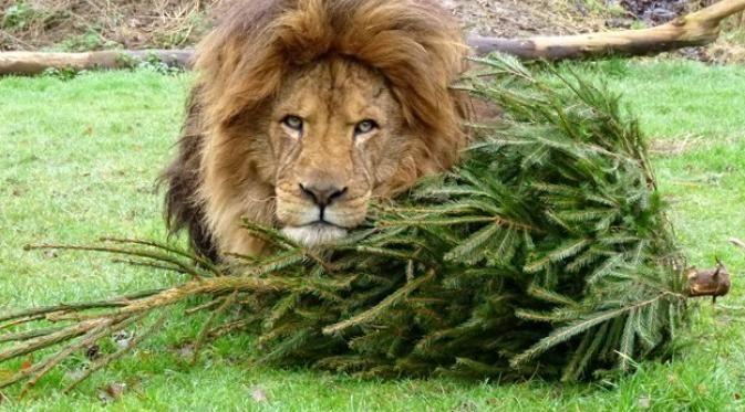 Seperti apa 4 pose keasyikan singa bermain pohon natal bekas? Ini dia.