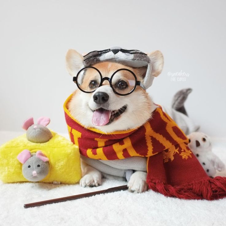 Yer a wizard, Sneakers!  #HarryPotterForever... - Sneakers the Corgi