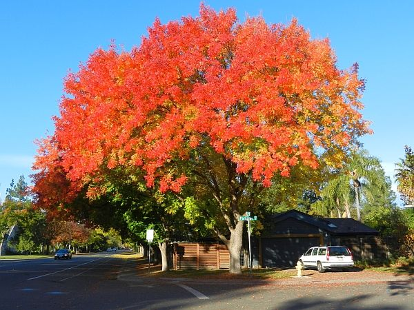 A list of drought tolerant trees for northern california for Drought tolerant trees