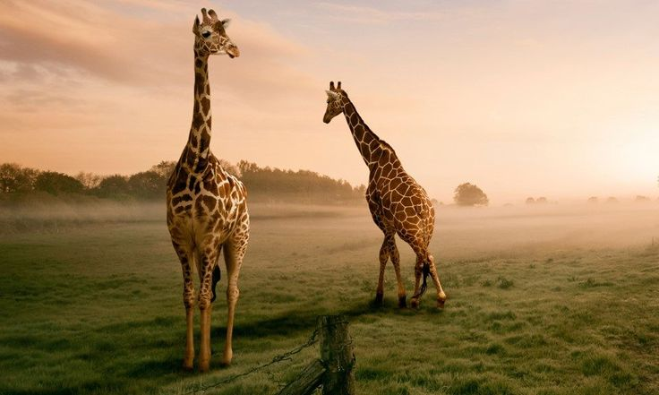 We Get It, These Strains Make You Higher Than a Giraffe's Genitals
