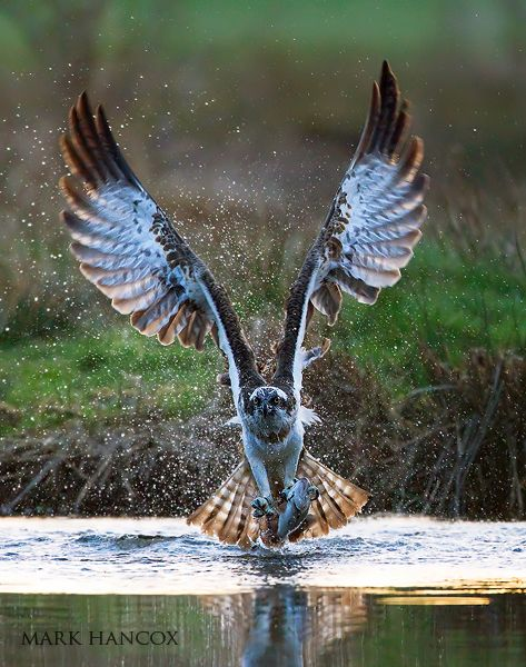 Osprey - Gorgeous Wing Span !