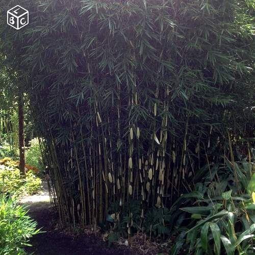 les 25 meilleures id es de la cat gorie bambou fargesia. Black Bedroom Furniture Sets. Home Design Ideas