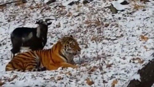 Tίγρης και τράγος έγινα οι καλύτεροι φίλοι σε ρωσικό πάρκο