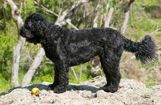 Portuguese Water Dog - Breed Profile:    Origin: Portugal  Colors: Black, white, various shades of brown  Size: Medium  Type of Owner: Experienced  Exercise: Moderate  Grooming: Regular  Trainability: Easy to train  Combativeness: Not generally dog-aggressive  Dominance: Moderate  Noise: Average barker