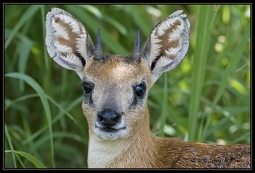 sharpe's grysbok - Google Search