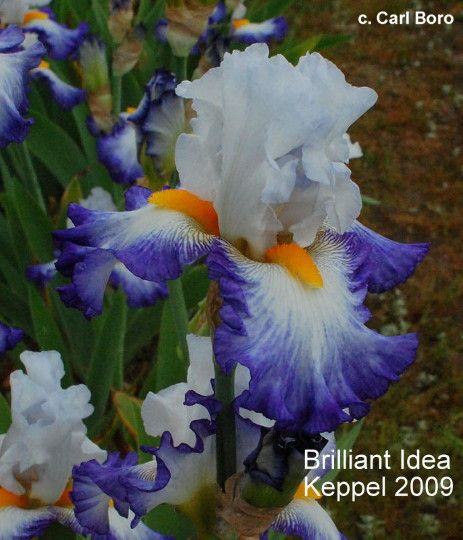 """'Brilliant Idea' ( Keith Keppel, R. 2008). Sdlg. 04-93A. TB, 36"""" (91 cm), Midseason bloom. Standards blue white (M&P 41-A-1/2); style arms white faintly edged pale blue; Falls white, 1/2"""" to 1"""" columbine blue (42-G-10) shaded edge; beards bright yellow darker than golden glow (9-L-6), large. 'Gypsy Lord' X 02-185D: ( 'Restless Heart' x 'Queen's Circle'). Keppel 2009. Honorable Mention 2011, Award of Merit 2013"""