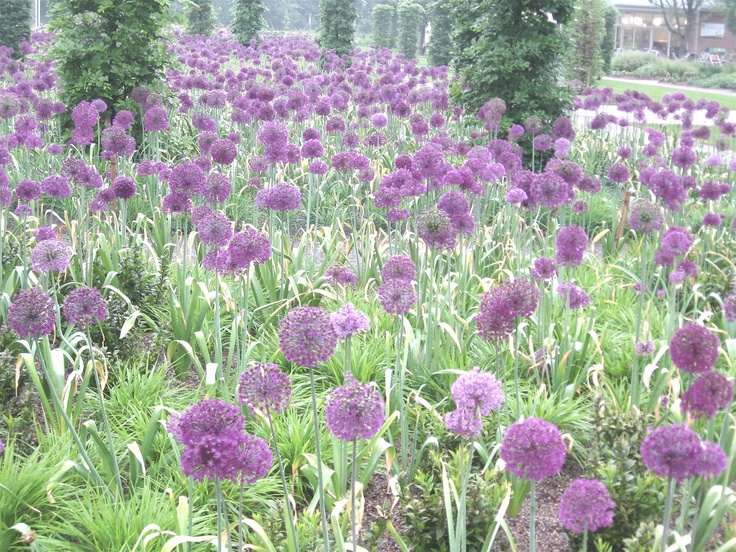 Alliums at Wisley