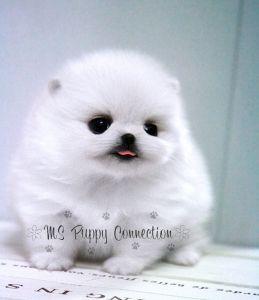 Teacup white Pomeranian puppy love