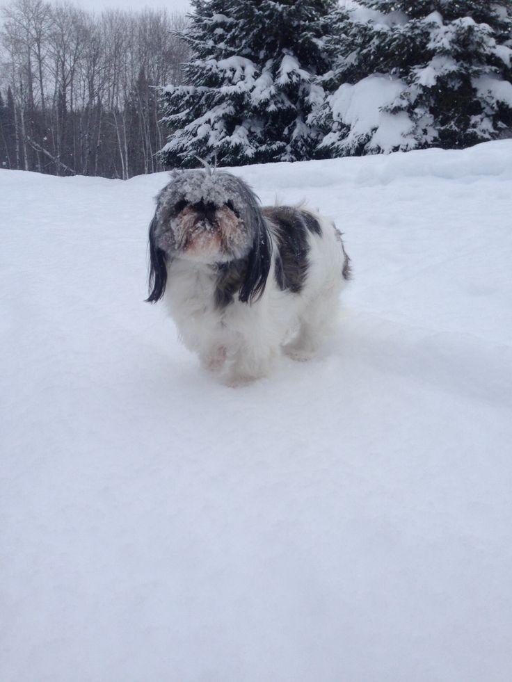 Puppies For Sale Bichon Shih Tzu For Sale In Calgary Alberta | Dog ...
