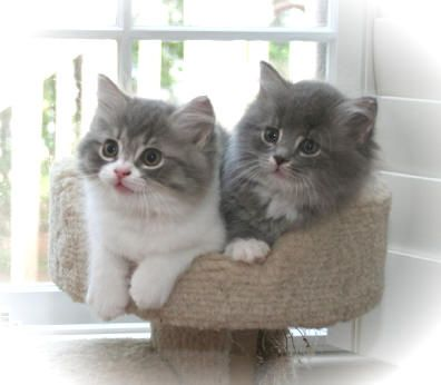 I shall have this kitten one day. Ragamuffin!