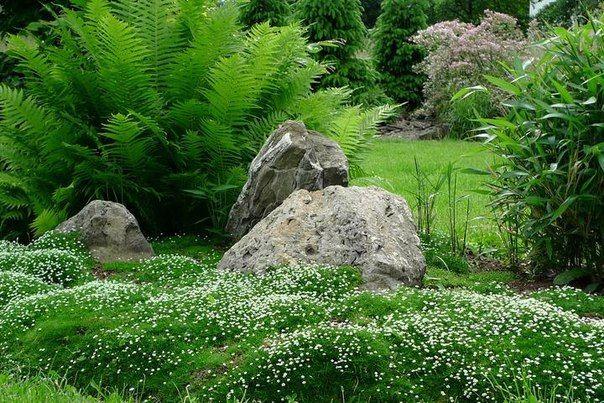 Ирландский мох. Мшанка.