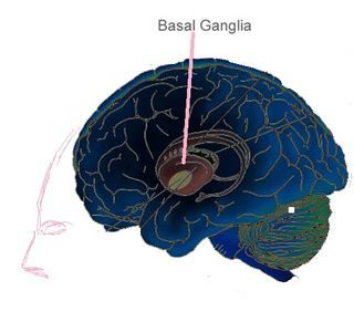 A Part of the Brain You Don't Appreciate Enough :   Source: Basal ganglia/Wikimedia Commons modified  [Read Spanish version]  As I make my way through the day most of my actions are thanks to the basal ganglia. Soon after I wake I lean my body forward and move a foot off the bed and onto the floor while the palms of my hands press against the mattress and balance my body so I don't fall over. Now I swing the other foot to the floor and now I'm standing. Many body movements with little…