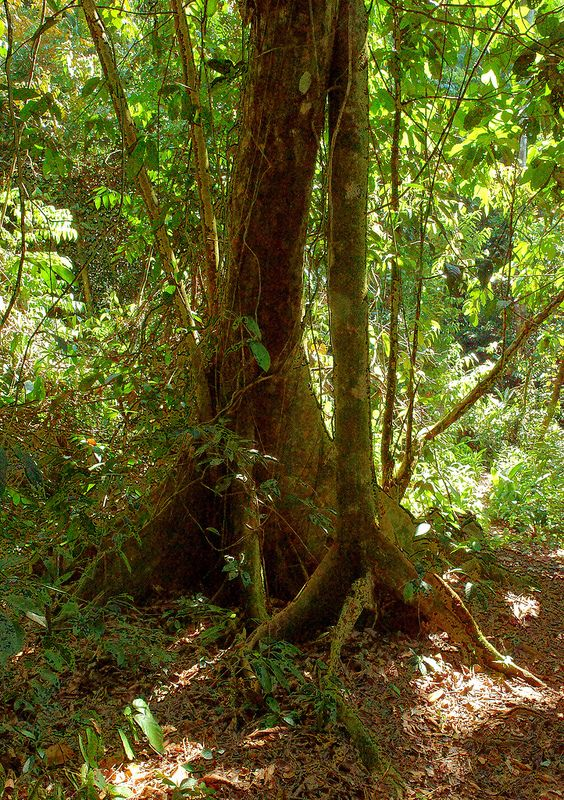 Buttress-Rooted Rainforest Trees, Mulu National Park, Sarawak