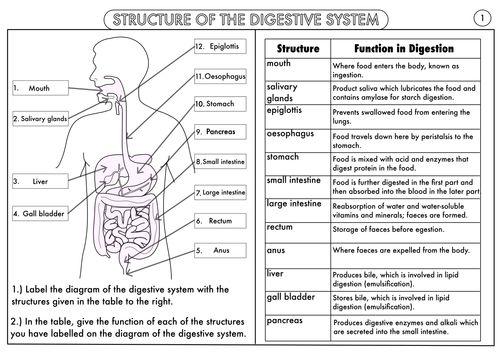 Labeling Sheet Digestive Diagram System