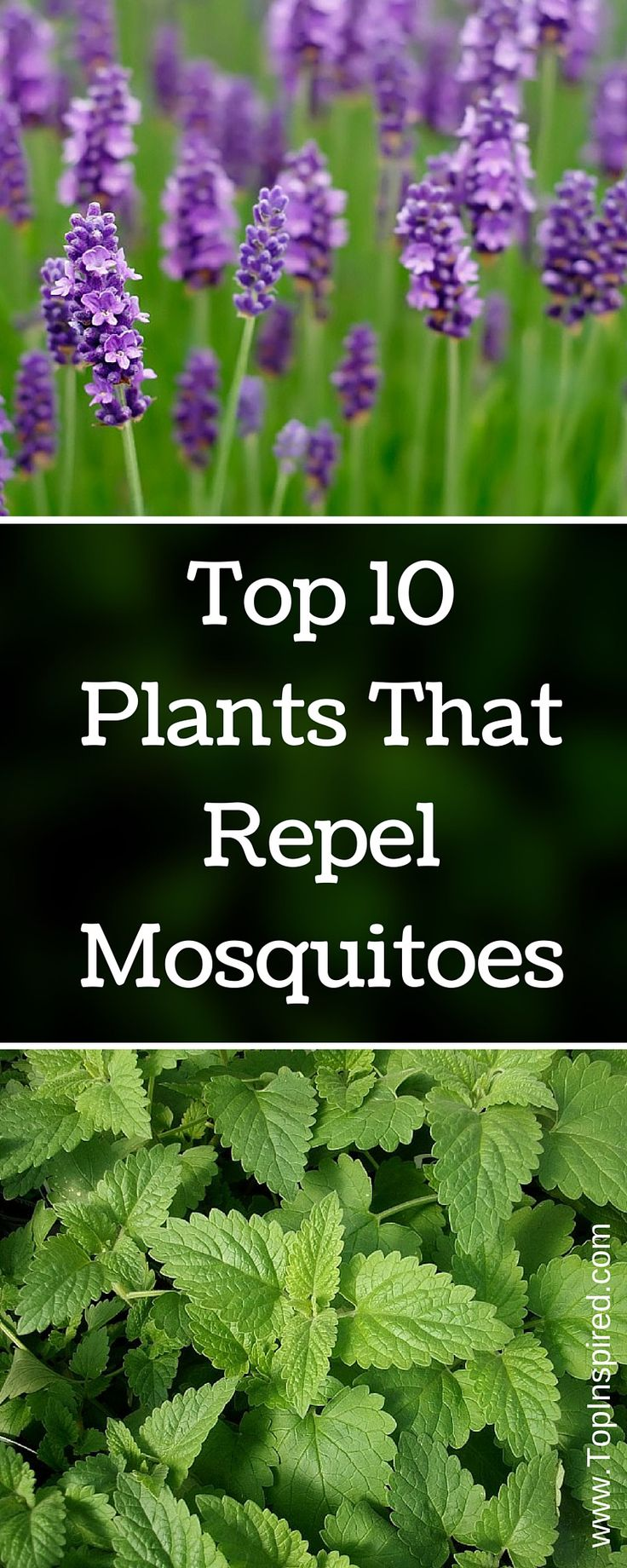 You will be surprised when you read the plant's names because some of them may be in your home already. - #Mosquitoes #Mosquito_Repellent
