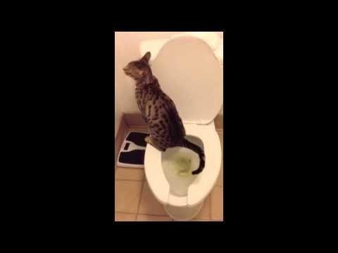 "F5 Savannah Cat ""Bandit"" Using the Toilet!  - WildTafari.com #wildtafari #savannahcat #savannahcatvideos #exoticcats #cats"