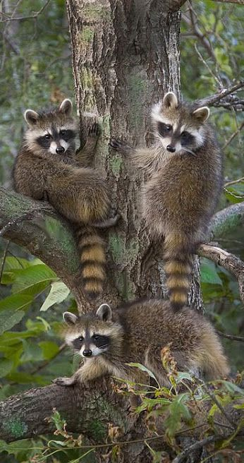 Raccoon Family                                                                                                                                                     More