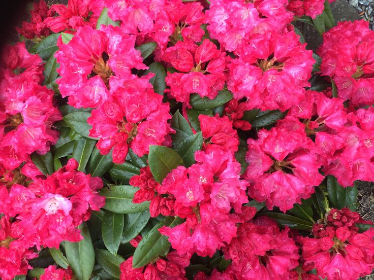 """Rhododendron """"Morgenrot"""""""