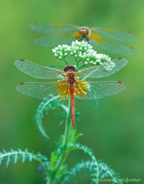 Dragonfly ♥