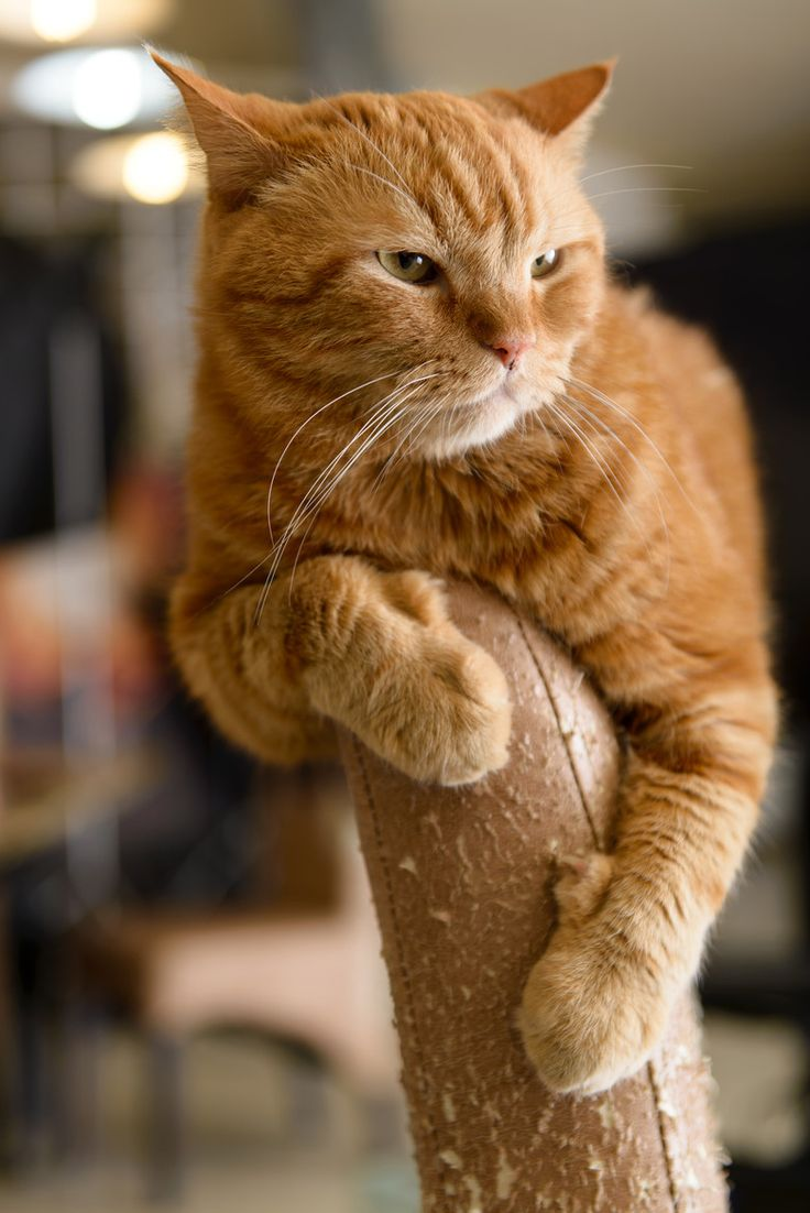 17 Best images about polydactyl Cats (6toes or more) on ...  17 Best images ...