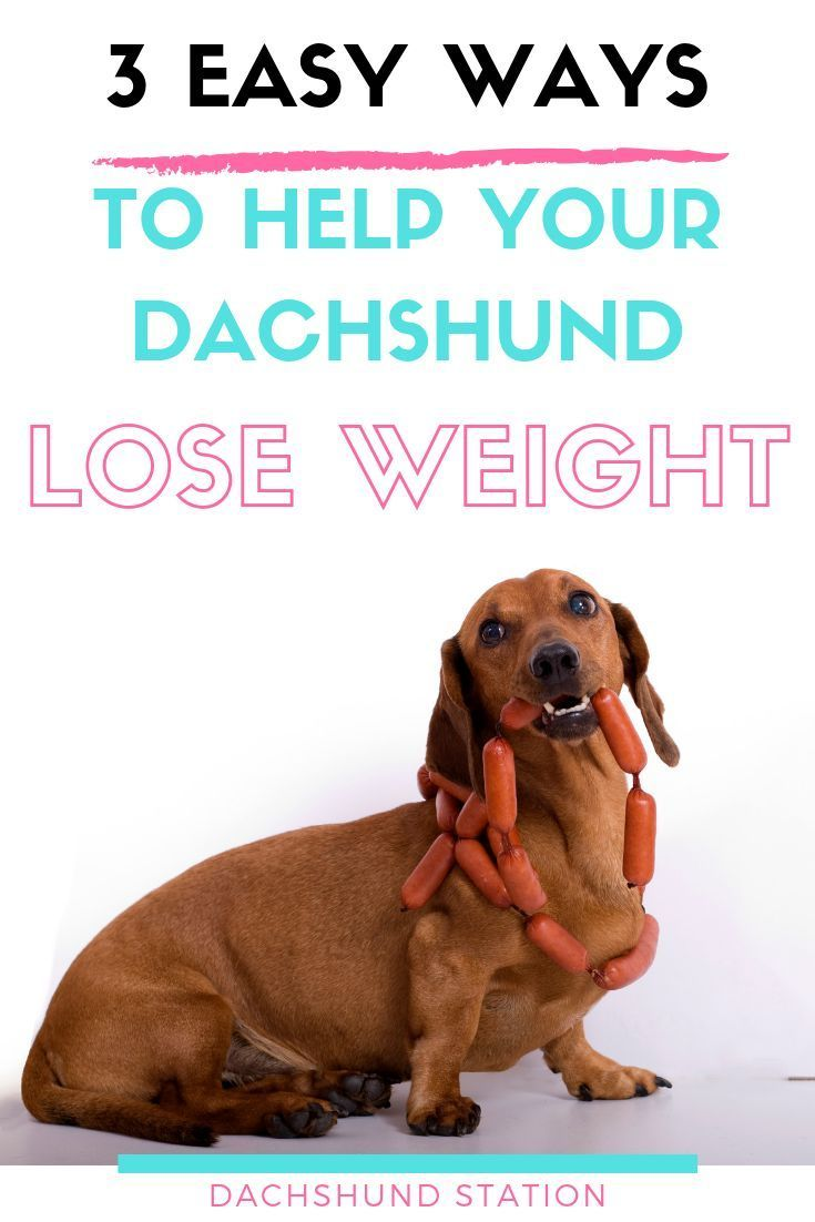 3 Easy Ways To Keep Your Dachshund Healthy Dachshund Station In 2020 Dachshund Dachshund Puppy Training Dog Care