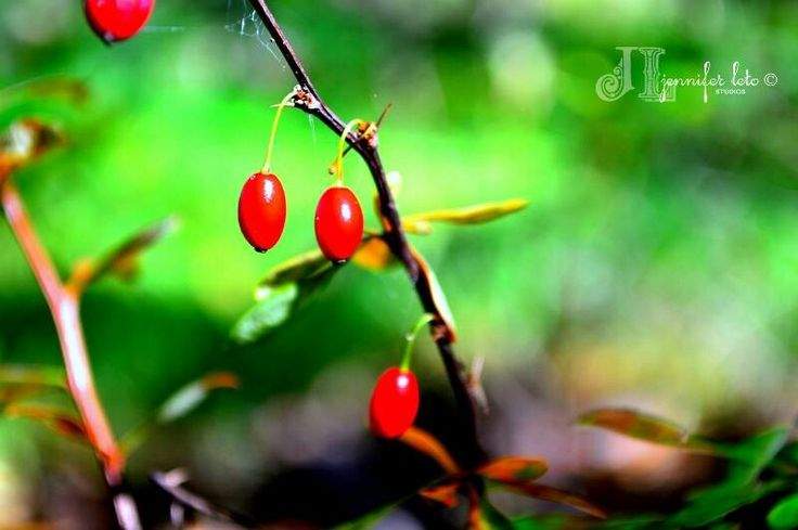 Red Berry Thorn Bush Berries Bush Fruit