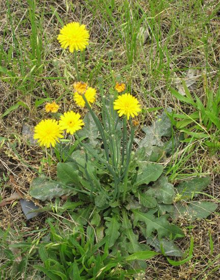 Dandelion and cats ear Identify that Plant