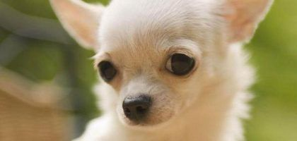 Datos curiosos sobre los perros chihuahua | eHow en Español