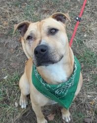 Bruiser-GREAT DOG! is an adoptable American Staffordshire Terrier Dog in Lapeer, MI. AVAILABLE 11/26! Bruiser has a GREAT temperament, VERY friendly, knows commands, listens great, very focused! He di...