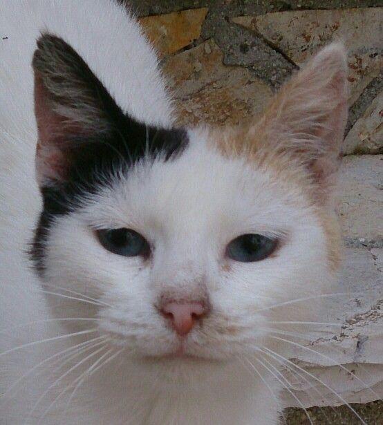 Griekenland, kat met prachtige donkerblauwe ogen.