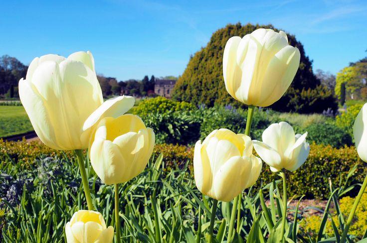 #MySundayPhoto - Tulips