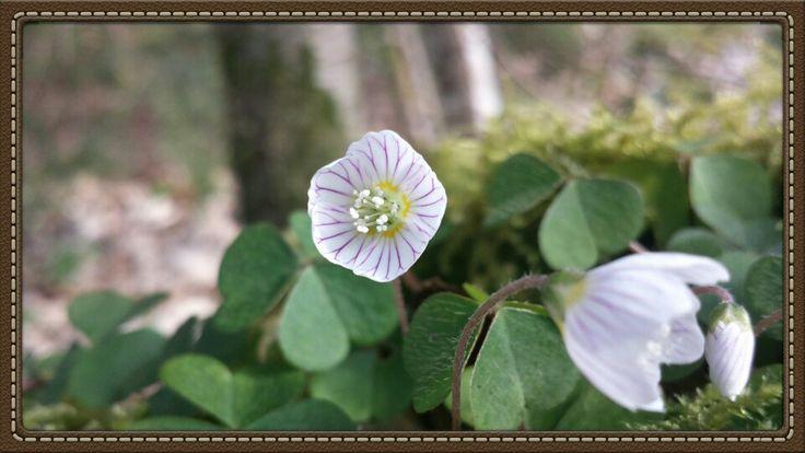 Oxalis petite fleur des bois..