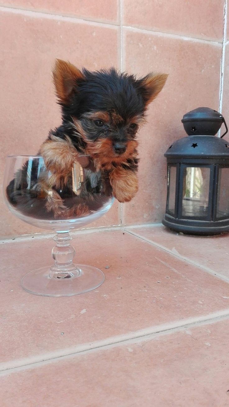 best yorkshire beliv images on pinterest yorkshire terrier